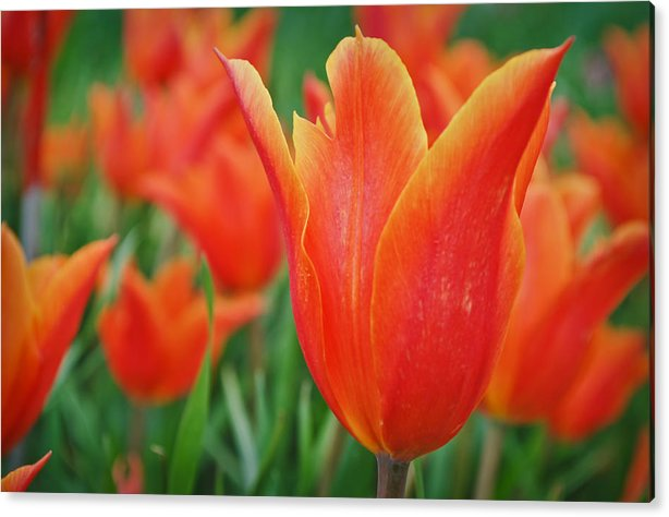 Tulips Acrylic Print featuring the photograph Blooming Tulips by Priyank Vora