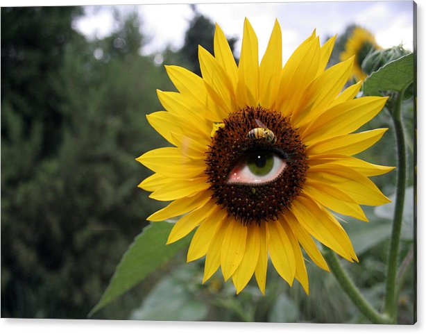 Sunflower Acrylic Print featuring the pyrography Watching You by Alexandra Louie