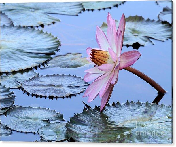 Pink Water Lily by Sabrina L Ryan