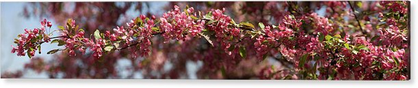 Crabapple Acrylic Print featuring the photograph Crabapple in spring panoramic by Michael Bessler