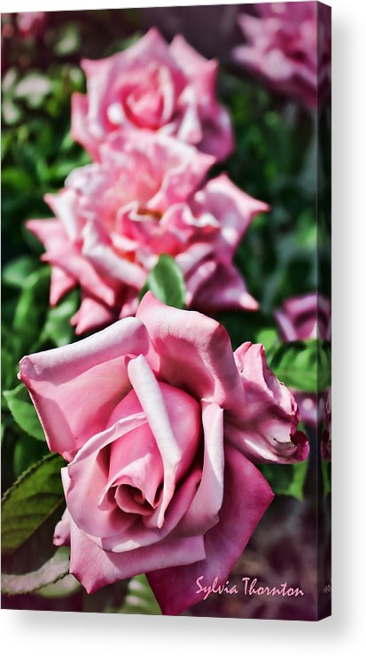 Roses Acrylic Print featuring the photograph Three Times A Lady by Sylvia Thornton