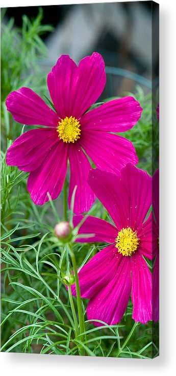 Pink Acrylic Print featuring the photograph Pink Flower by Michael Bessler