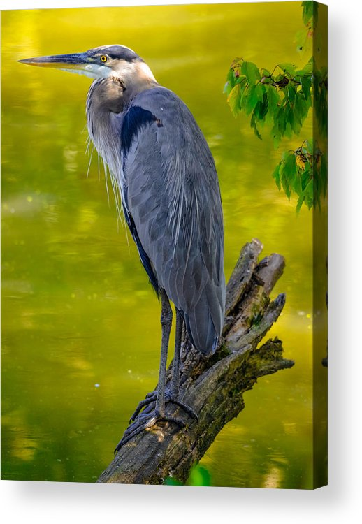 Acrylic Print featuring the photograph Great Blue Heron by Brian Stevens