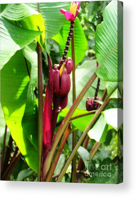 Panama Acrylic Print featuring the photograph Barriles Flower by Ted Pollard