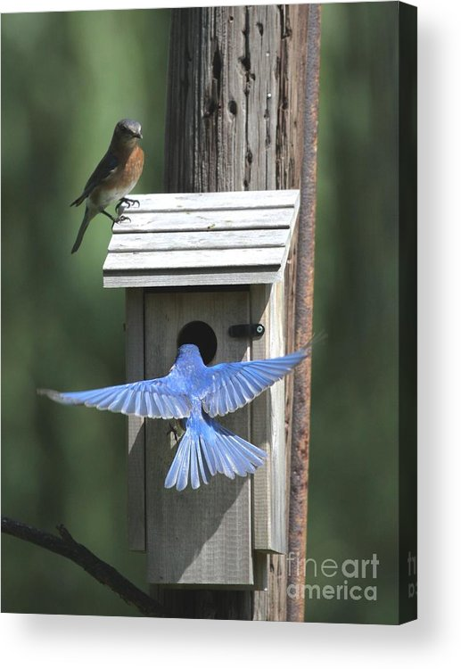 Nature Acrylic Print featuring the photograph Eastern Bluebird by Jack R Brock