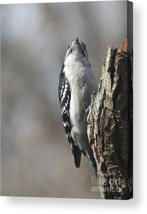 Nature Acrylic Print featuring the photograph Downy Woodpecker by Jack R Brock