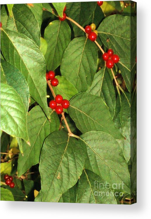 Tree Acrylic Print featuring the photograph Baby Red Berries by Tahlula Arts