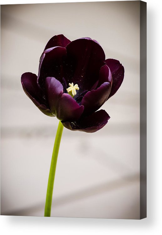 Black Acrylic Print featuring the photograph Black Tulip by Mark Llewellyn