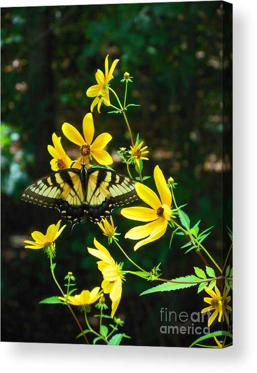 Monarch Acrylic Print featuring the photograph Buttered Up by Beebe Barksdale-Bruner