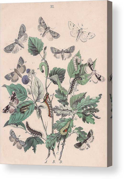 Butterfly Acrylic Print featuring the drawing Cymatophoridae - Acronyctidae by W Kirby