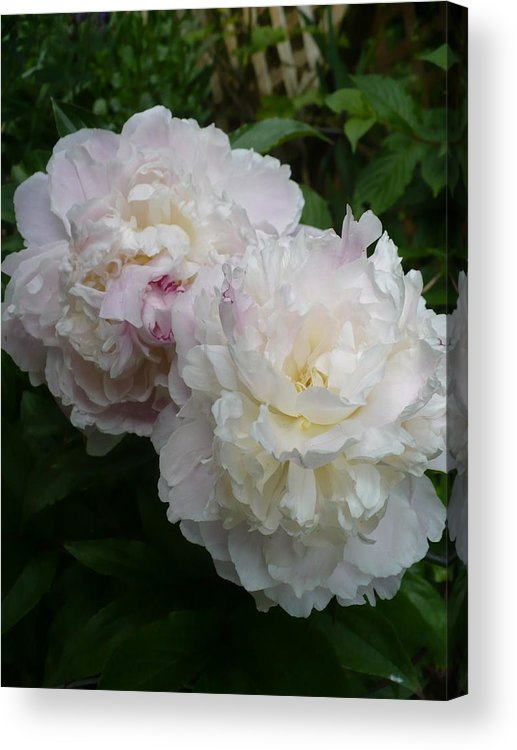 Peony Acrylic Print featuring the photograph Double White Peony by Nicki Bennett