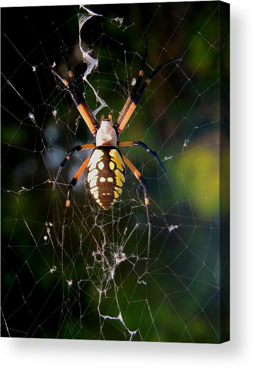 Spider Acrylic Print featuring the photograph Dream Weaver by Stephanie Kendall