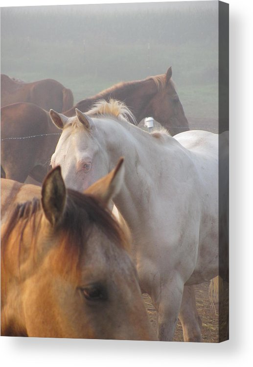 Horses Minnesota Acrylic Print featuring the photograph Fronts by Kim Eastwood