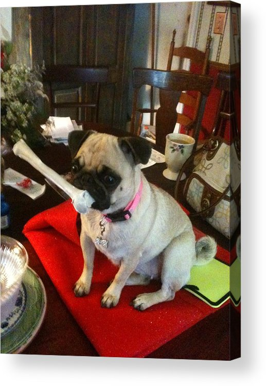 Pugs Acrylic Print featuring the photograph I Found A Bone by Elisbeth Caswell