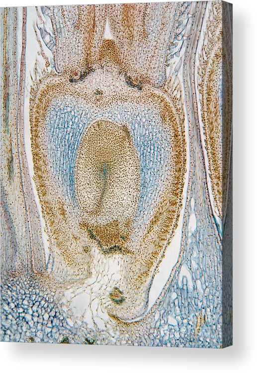 Light Micrograph Acrylic Print featuring the photograph Lm Of Sunflower Ovule by Garry DeLong