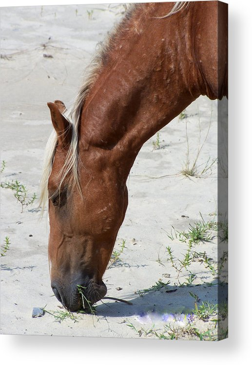 Wild Spanish Mustang Acrylic Print featuring the photograph Lunch Time For The Wild One by Kim Galluzzo Wozniak