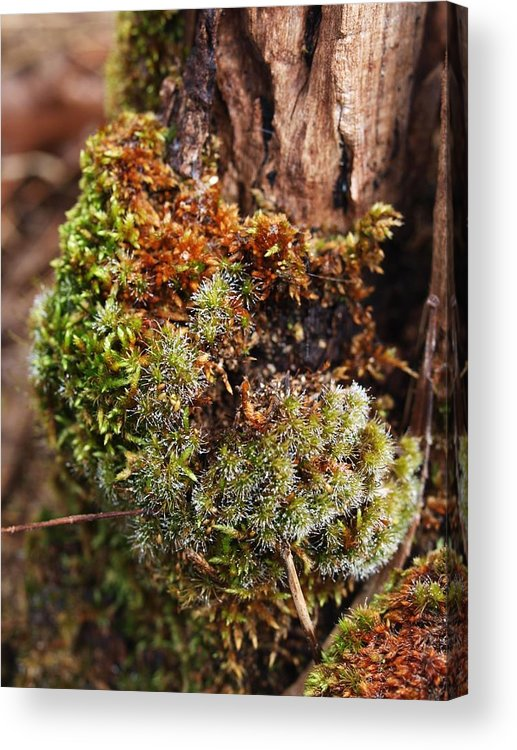 Moss Acrylic Print featuring the photograph Moss On A Tree by Michaela Perryman