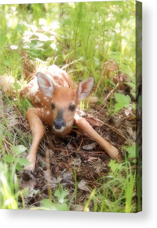 Fawn Acrylic Print featuring the photograph New Fawn In The Forest by Angie Rea