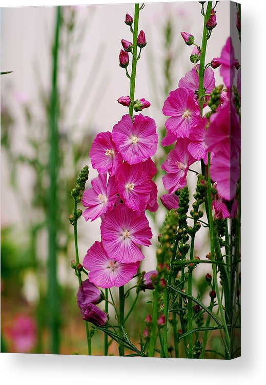 Pink Flowers English Country Cottage Garden Perennial Acrylic Print featuring the photograph Pink Flowers by Louise Morgan