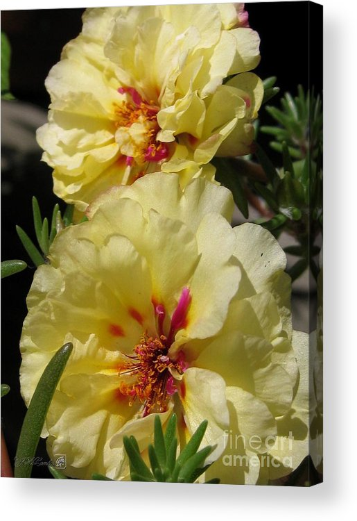 Mccombie Acrylic Print featuring the photograph Portulaca Named Happy Hour Banana by J McCombie