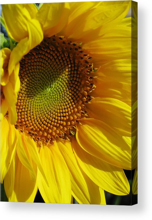 Sunflower Acrylic Print featuring the photograph Shy Sunflower by Laura Corebello