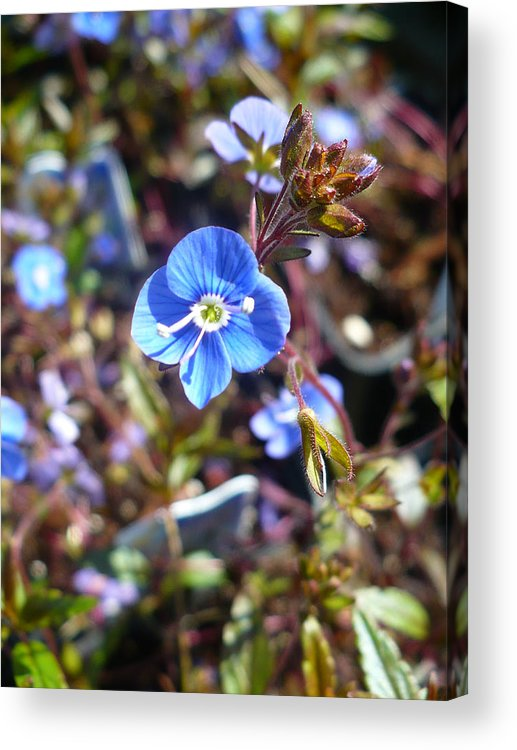 Floral Acrylic Print featuring the photograph Spring Blooms Of 2013 F by Nicki Bennett