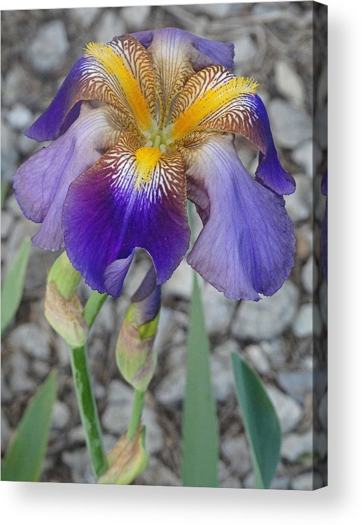 Blooming Flowers Acrylic Print featuring the photograph Standing Iris by Greg Boutz