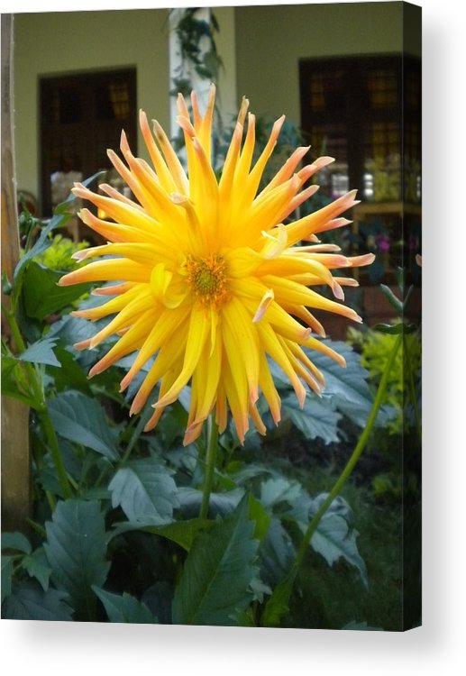 Dhruv Acrylic Print featuring the photograph Sunflower by Dhruv Avdhesh
