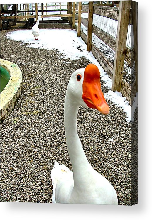Geese Acrylic Print featuring the photograph Taking A Gander... by Julie Dant