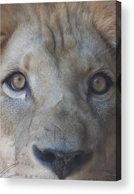 Lion Acrylic Print featuring the photograph Those Lion Eyes by Gail Ledford