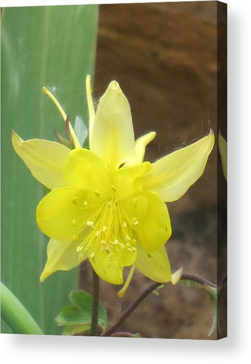 Real Flowers Acrylic Print featuring the photograph Yellow Colubine by Paul - Phyllis Stuart