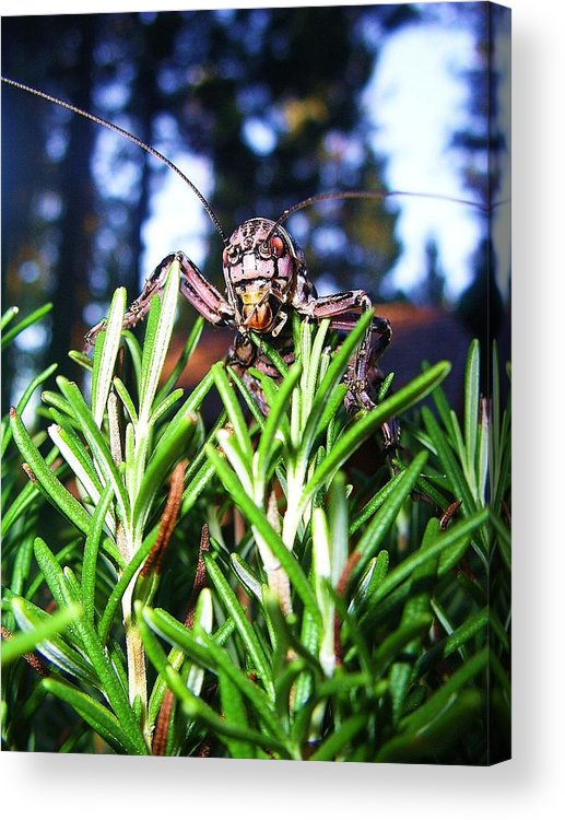 Cricket Acrylic Print featuring the photograph 002 by Arley Atkins