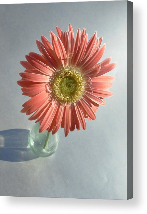 Gerbera Photographs Acrylic Print featuring the photograph 0738 by Kimberlie Gerner