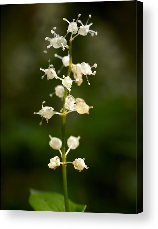 Helvetinjarvi National Park Acrylic Print featuring the photograph May Lily by Jouko Lehto