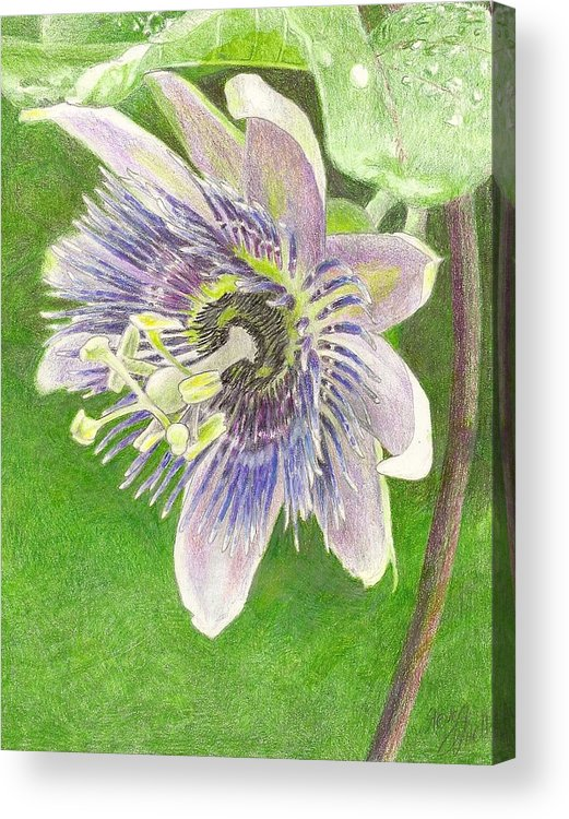 Passiflora Acrylic Print featuring the drawing Passiflora Alatocaerulea by Steve Asbell