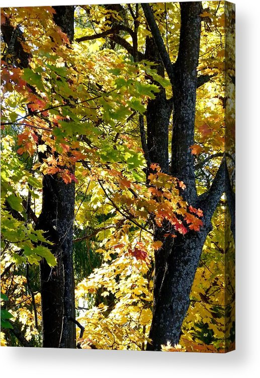 Dazzling Days Acrylic Print featuring the photograph Dazzling Days Of Autumn by Will Borden