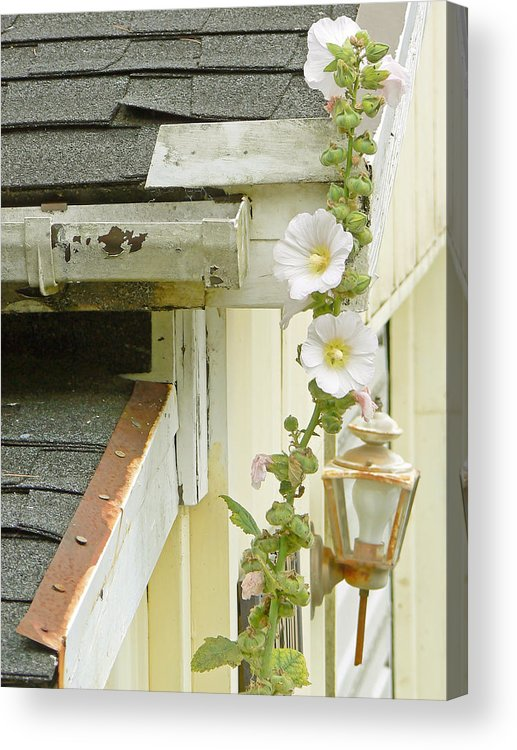 Hollyhocks Acrylic Print featuring the photograph Flame And Healing by Pamela Patch
