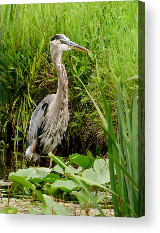 Heron Acrylic Print featuring the photograph Great Blue Heron Walking by Azthet Photography