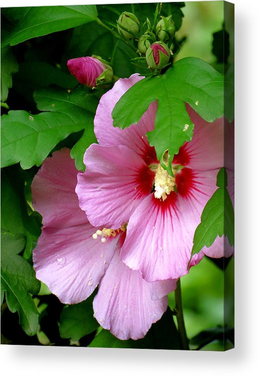Flower Acrylic Print featuring the photograph Hibiscus by Azthet Photography