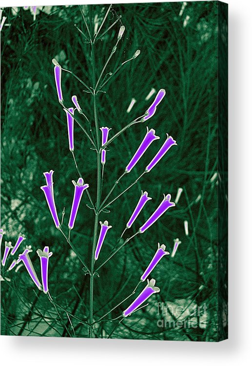 Flowers Acrylic Print featuring the photograph Lavender Trumpet Blossoms by Merton Allen