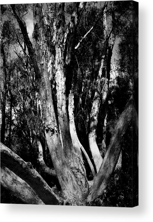Tree Acrylic Print featuring the photograph Melaleuca Tree by David Weeks