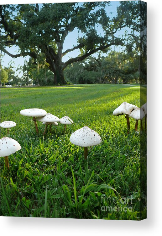 Mushroom Acrylic Print featuring the photograph Mushrooms And Oak Trees by Jeanne Woods