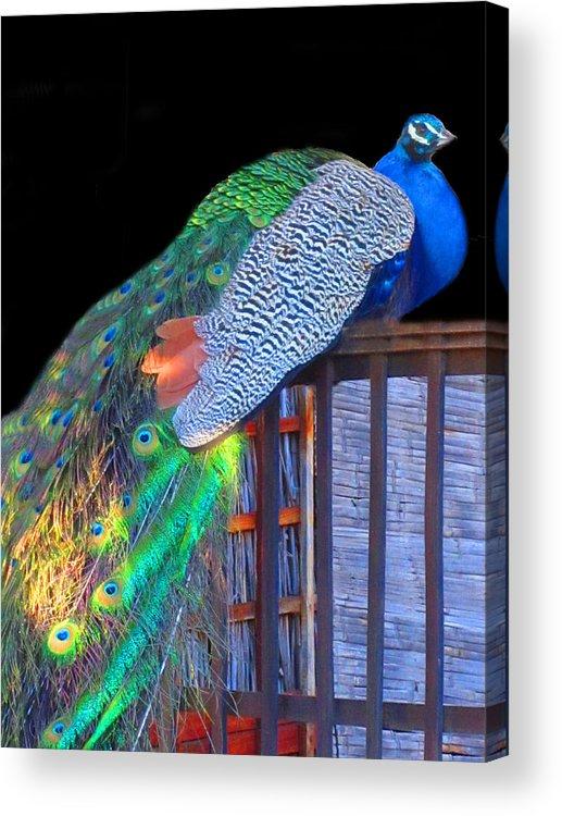 Peacock Acrylic Print featuring the photograph Peacock Poses by Vijay Sharon Govender