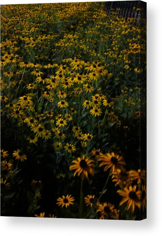 Flowers Acrylic Print featuring the photograph Sea Of Black-eyed Susans by Guy Ricketts