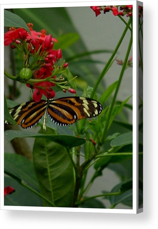 Butterlfy Acrylic Print featuring the photograph Sweet Nectar by Frank Wickham