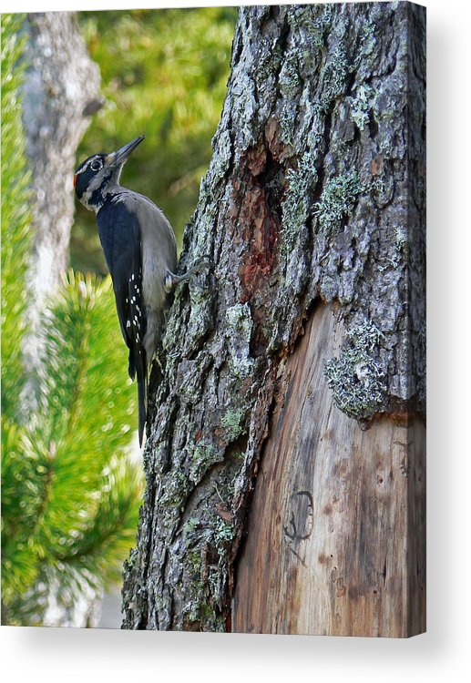 Bird Acrylic Print featuring the photograph Young Woody Makes A Home by Pamela Patch