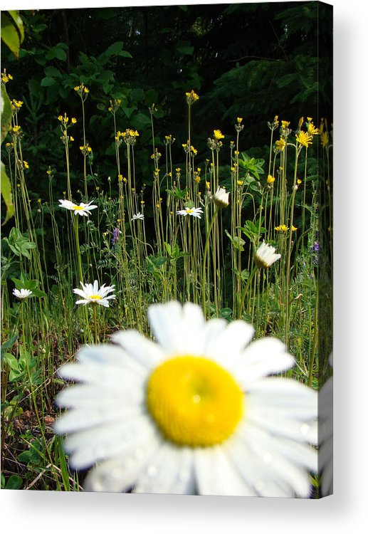 Daisy Acrylic Print featuring the photograph Oh Ditch Weeds by Tingy Wende