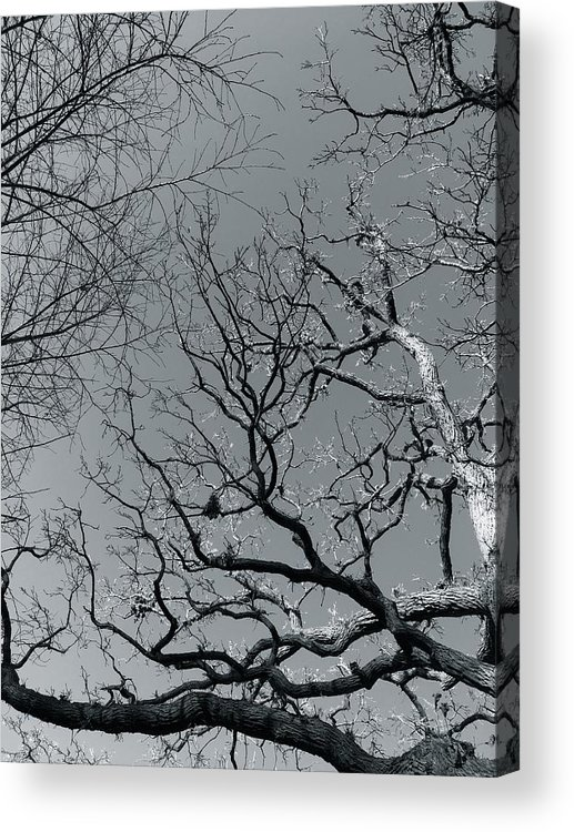 Trees Acrylic Print featuring the photograph oak by Julian Grant