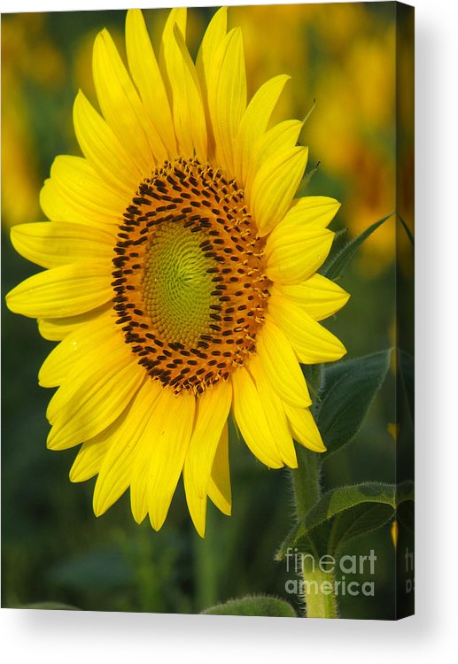 Sunflowers Acrylic Print featuring the photograph Sunflower by Amanda Barcon