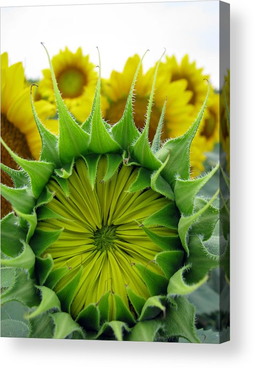 Sunflwoers Acrylic Print featuring the photograph Sunflower Series by Amanda Barcon